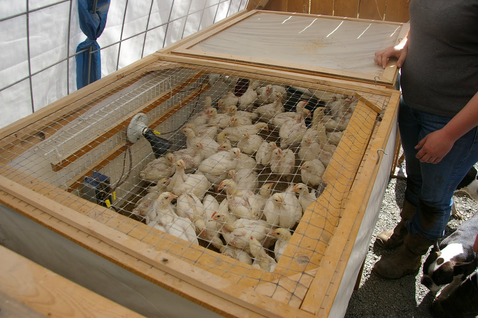 Cheap Chicken Brooder