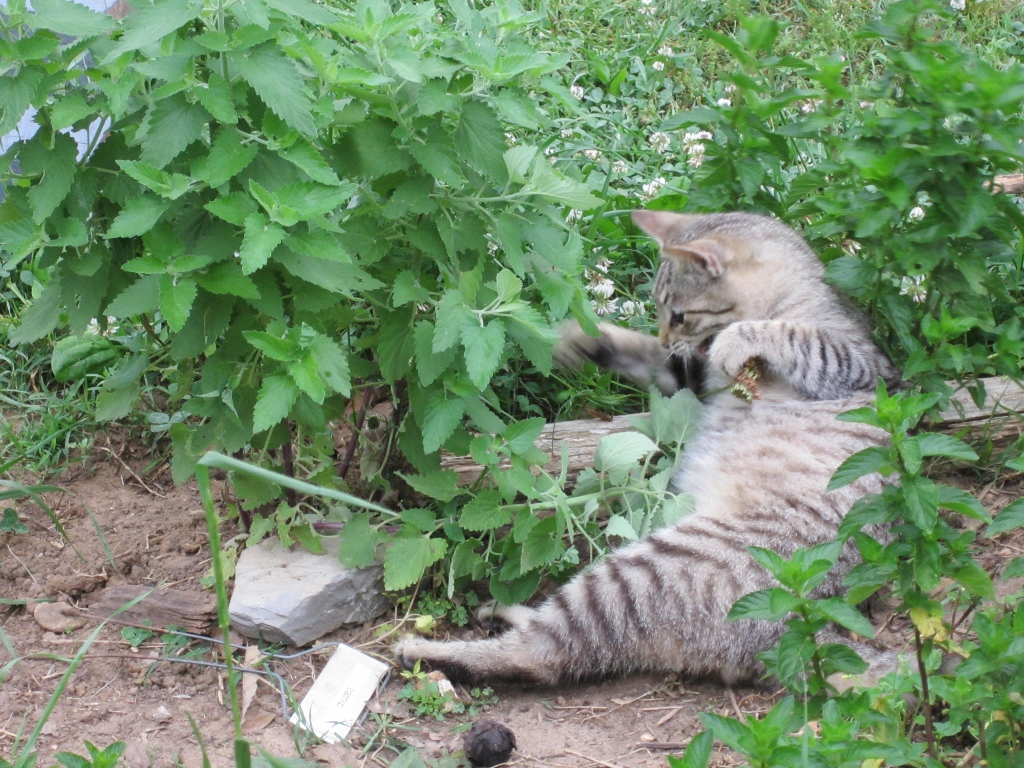 Keep mosquitoes away with Catnip!