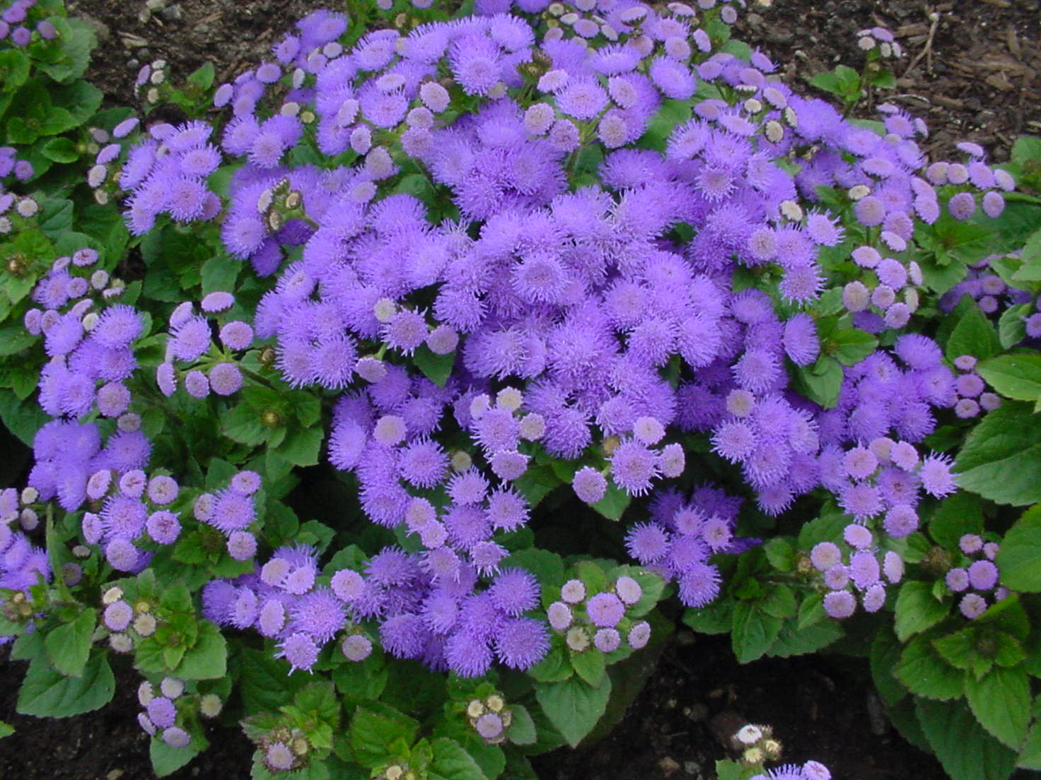 Keep mosquitoes away with ageratum!