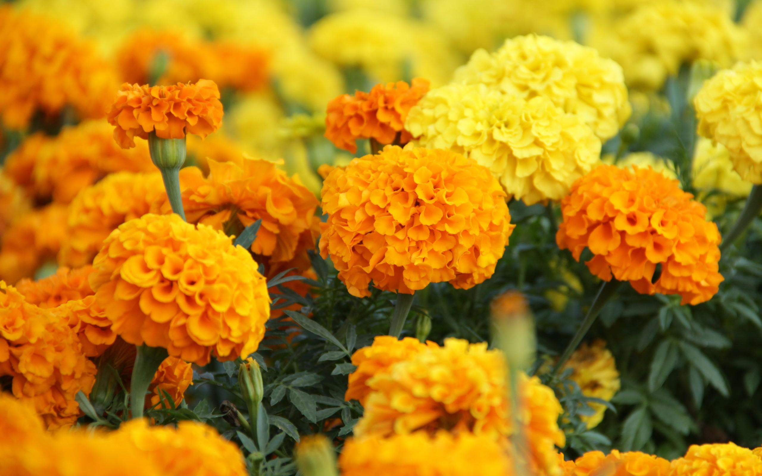 Keep mosquitoes away with marigolds!